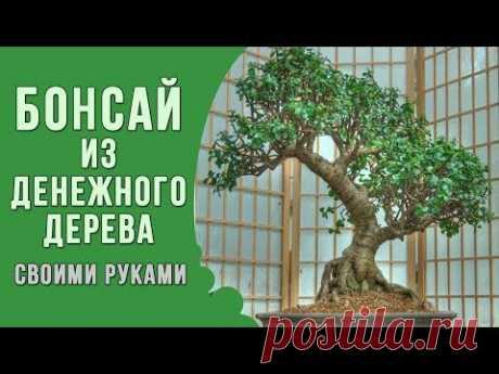 Бонсай из денежного дерева своими руками.  Формирование толстянки в стиле бонсай. Привет это первое видео на тему как вырастить бонсай из денежного дерева своими руками.