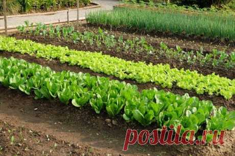 Советы огородникам и садоводам в Instagram: «Что можно сажать после : ⠀ После картофеля – почти все виды капусты (цветная, бело- и краснокочанная), салат, укроп, сельдерей, петрушка…»