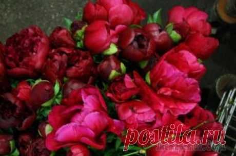 5 secrets of magnificent blossoming of a peony from the expert Piona are loved by our gardeners and grow practically in each front garden. However at one it is the huge bushes entirely covered in the flowers at others – too solid and buds on them no more than one or two. And...