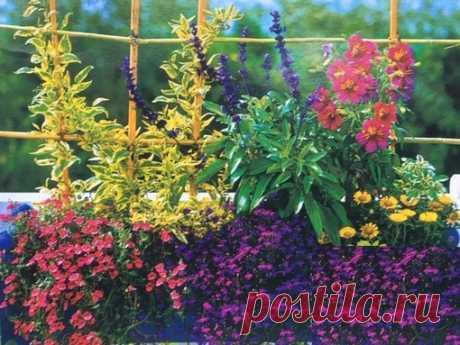 #Сад  Ширма для любителей одиночества.  В этом ящике представлена композиция из классических растений: сальпиглоссиса, или трубкоязычника (Sflpiglossis), шалфея и паслена (Solanum) - многолетнего кадочного растения. Показать полностью…