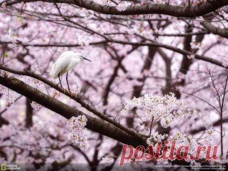 Цапля в сакуре, Япония. Автор фото — Anna Onishi, участница фотоконкурса «Nature Photographer of the Year»: