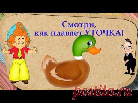 Este vídeo para los más pequeños nuestros espectadores. \ud83d\ude03 en ello de nada contamos, y mostramos como el patito nada, como zambulle, como limpía las plumas, bebe vodichku...