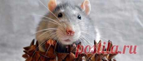 Как связать Крысу (Мышку) крючком к Новому году 2020 — ТОП, ТОП, САПОЖОК мы предлагаем связать символа 2020 года крыску или мышку своими руками. А это значит вложить в поделку свою душу, зарядить ее положительной энергетикой