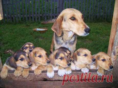 Выбор и выращивание щенка охотничьей породы | Охота и рыбалка