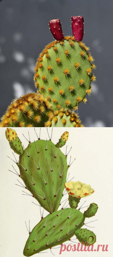Кактус плоский: виды, названия и фото