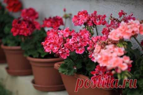 Чудо-удобрения для герани для обильного цветения без химии | Комнатные растения | Яндекс Дзен