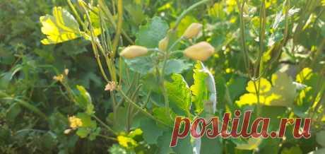 Чистотел, интересные особенности растения, как им пользовались наши предки | Мир Вокруг Нас | Яндекс Дзен