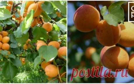 Абрикосы в саду. Как вырастить абрикос -советы.