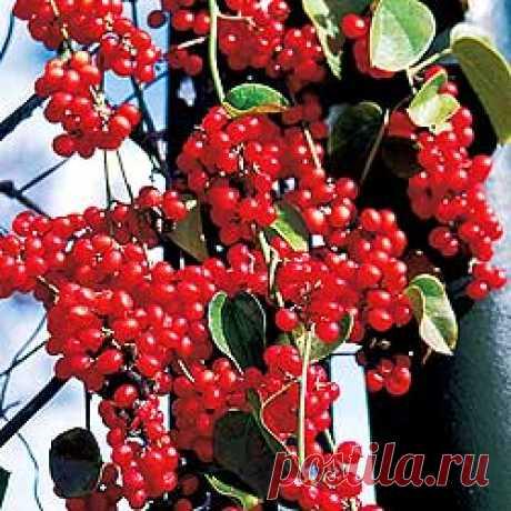 MAGNOLIA VINE CHINESE (Schisandra chinensis)