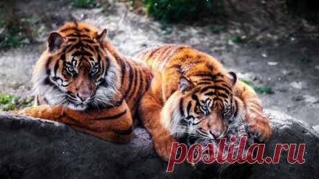 Обои тигры, на камне, скачать обои, фото и картинки бесплатно
