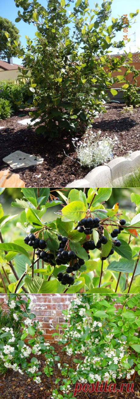 Арония черноплодная – совсем не рябина