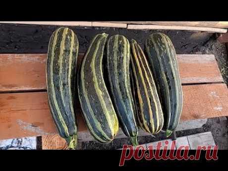 Описание, опыт выращивания и приготовления кабачка ЗЕБРА