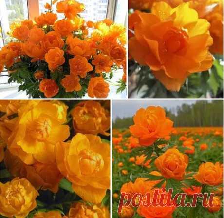 Сибирские розы Жарки. Необычайной красоты цветы.....