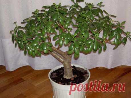 Крассула (Денежное дерево или Толстянка) - виды, фото и названия
