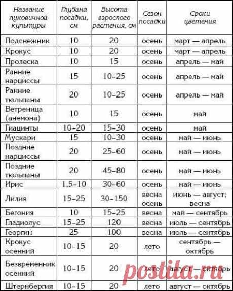 Таблица глубины посадки луковичных цветов | Садовые цветы