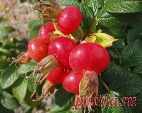 ВЫ БУДЕТЕ ПОРАЖЕНЫ,КОГДА УЗНАЕТЕ ЧТО МОЖНО ВЫЛЕЧИТЬ ОБЫКНОВЕННЫМ ШИПОВНИКОМ Уникальная ягода шиповник А вы знаете,что в шиповнике витамина С больше, чем в смородине в 10 раз и лимоне в 40 раз? Шиповник,помимо красивых цветов и полезных ягод,обладает уникальными пищевыми, пита…