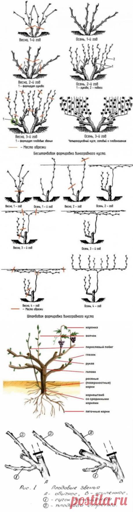 Как правильно обрезать виноград весной для начинающих, схема, фото. Как правильно обрезать виноград весной