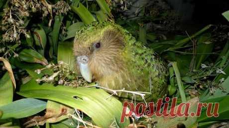 Самый тяжелый и долгоживущий попугай в мире назван птицей года в Новой Зеландии