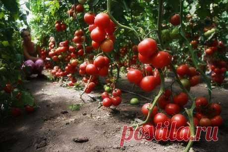 Подкормите помидоры этим средством, и они будут плодоносить до самой осени Каждый дачник хочет собрать со своего участка максимальное количество урожая. А для этого необходимо вовремя подкармливать растения, и тогда они порадуют вас своим богатым урожаем. Томаты можно подкармливать не только готовыми удобрениями. В этом плане ...