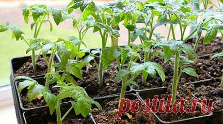Толстая и здоровая рассада томатов | Просветленный Агроном | Яндекс Дзен