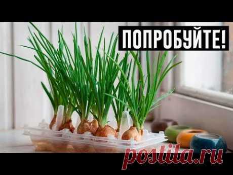 Интересный и простой способ выращивания лука дома!