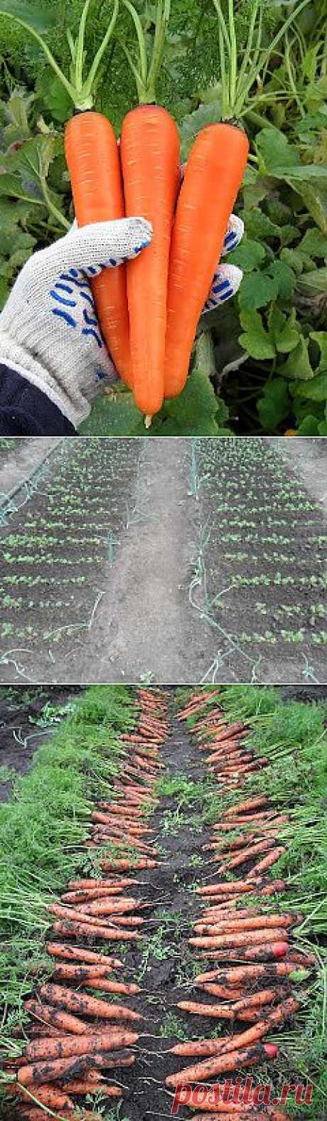 Вкусный Огород: Как выращивать морковь