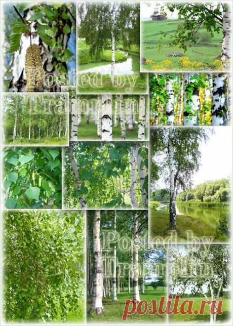 Растровый клипарт - Березы - Растровый клипарт - Все для Фотошоп - Рамки для фото бесплатно