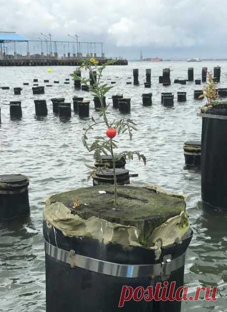 Помидор, выросший на свае Бруклинского моста Фото Matthew Frey