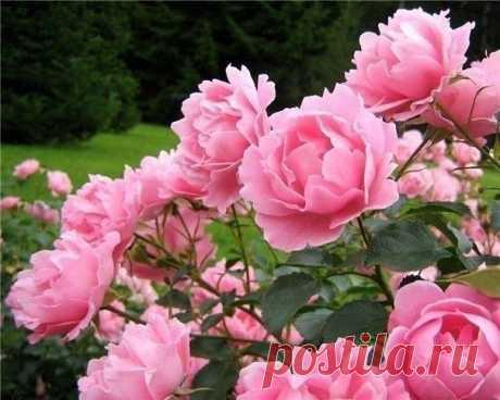 BOCEMЬ СЕКРЕТОВ ВЫРАЩИВАНИЯ РОЗ  Роза- настоящая королева цветника. За годы выращивания этого прекрасного цветка поняла, какие ошибки при выращивании роз нужно не допускать. Надеюсь, что эти советы по выращиванию роз помогут начинающим любителям выращивания роз  1. Обязательно заглубляйте место прививки на 3-5 см. Роза погибнет, если погибнет прививка. Это относится к привитым розам.  2. При посадке обязательно хорошенько полейте и утрамбуйте землю около корневой системы, ...