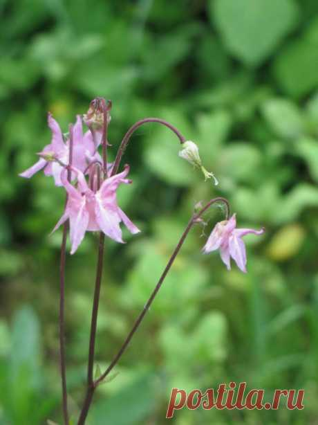 Аквилегия - 78 фото удивительно красивого цветка водосбора