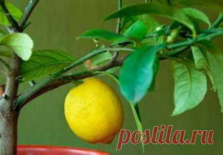 Как ухаживать за лимоном в домашних условиях — AgroFlora.ru