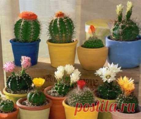 ИНТЕРЕСНОЕ О КАКТУСАХ.... Самые жароустойчивые на Земле растения — кактусы, они выживают при 60 градусах жары. Являясь растениями пустынь, кактусы в течение длительного процесса развития...