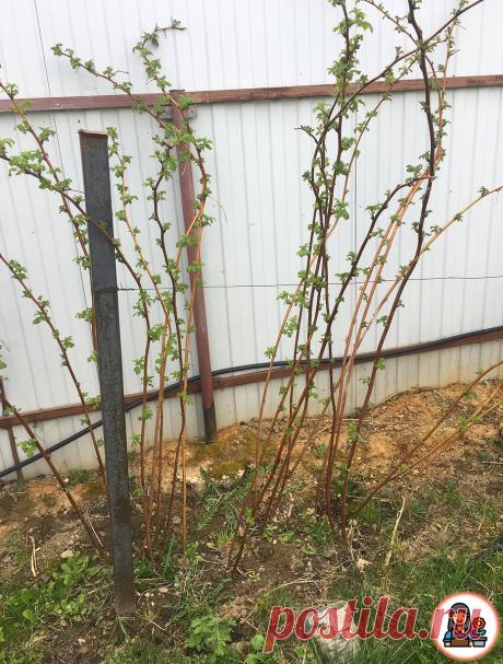 Всегда собираю большой урожай малины, благодаря нескольким простым действиям, которые я провожу весной. Делюсь хитростями   Цветущий сад   Яндекс Дзен