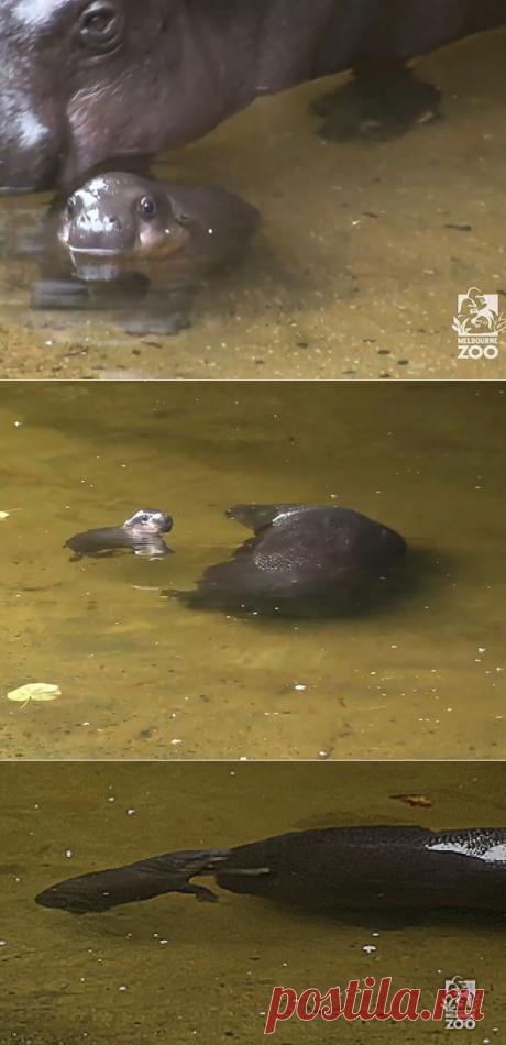 Новорожденный бегемотик учится плавать