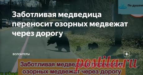 Заботливая медведица переносит озорных медвежат через дорогу