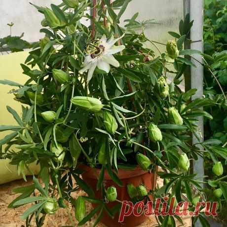 5 шикарных вьющихся комнатных растений, которые украсят стены вашего дома | Дом Мечты Элис | Яндекс Дзен
