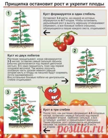 Зачем прищипывают томаты?  К моменту налива плодов на первой кисти нижние листья начинают желтеть, их периодически обрывают. Нижние листья должны быть удалены до соцветия, на котором начинают созревать плоды.  За 30-40 дней до окончания выращивания главный стебель прищипывают (иначе плоды в верхней части растения не успеют созреть).  Боковые пасынки удаляют, когда достигают 5-7 см длиной, - при перерастании они затеняют растения и напрасно расходуют его силы.  Удалять пасы...