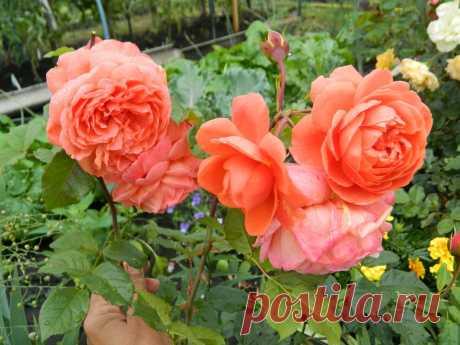 Чтобы розы всегда радовали: что я делаю в конце июля | Дачный дневник пенсионерки | Яндекс Дзен