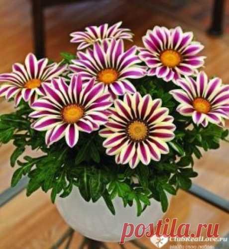 ✔ Знакомства для серьезных отношений ➡  ClubRealLove.ru . Восхитительные садовые цветы Газания