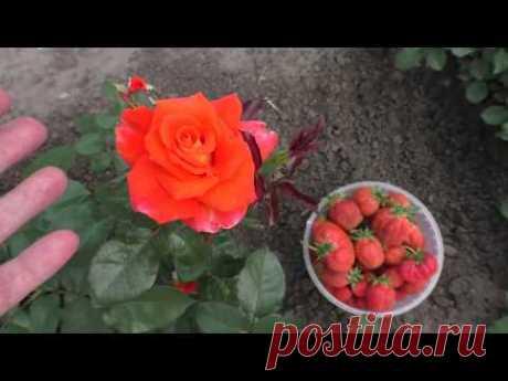 Моя роза ГЛОРИЯ ДЕЙ не соответствует описанию