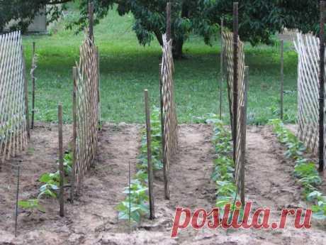 La cultivación de los pepinos sobre las espalderas: las etapas, la instalación de las espalderas, la partida