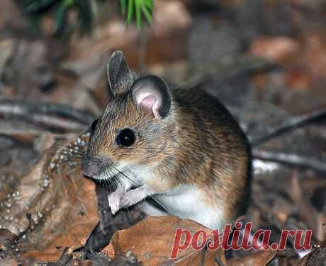 Мышь полевка – фото, описание, ареал, питание, популяция