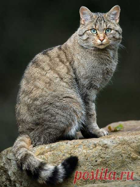 «Европейский лесной кот. European Wildcat (Felis Silvestris). Для проживания предпочитает глухие смешанные леса, если селится в горах, то может подняться на высоту 2-3 км над уровнем мирового океана. » — карточка пользователя Anna L. в Яндекс.Коллекциях