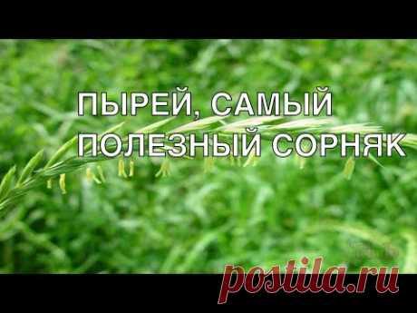 Пырей, самый полезный сорняк на огороде