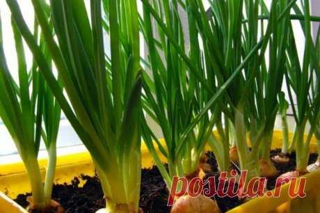 5 способов вырастить лук на подоконнике | Современное Домоводство | Яндекс Дзен