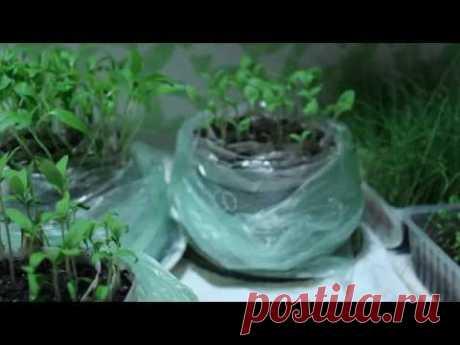 Un nuevo modo de la plantación el tomate, la berenjena y el pimiento a las plantas.