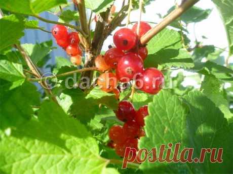 Подкормка смородины после плодоношения в июле-августе