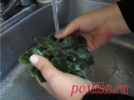 Как правильно мыть листья фиалки? — Ботаничка.ru