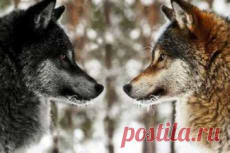 Притча про двух волков. Вы прочитаете ее за 20 секунд, а будете помнить вечно!       Когда-то давно старый индеец открыл своему внуку одну жизненную истину. — Каждый человек постоянно ведет внутреннюю борьбу. Это происходит потому, что в внутри нас живет два волка — начал мудрый…