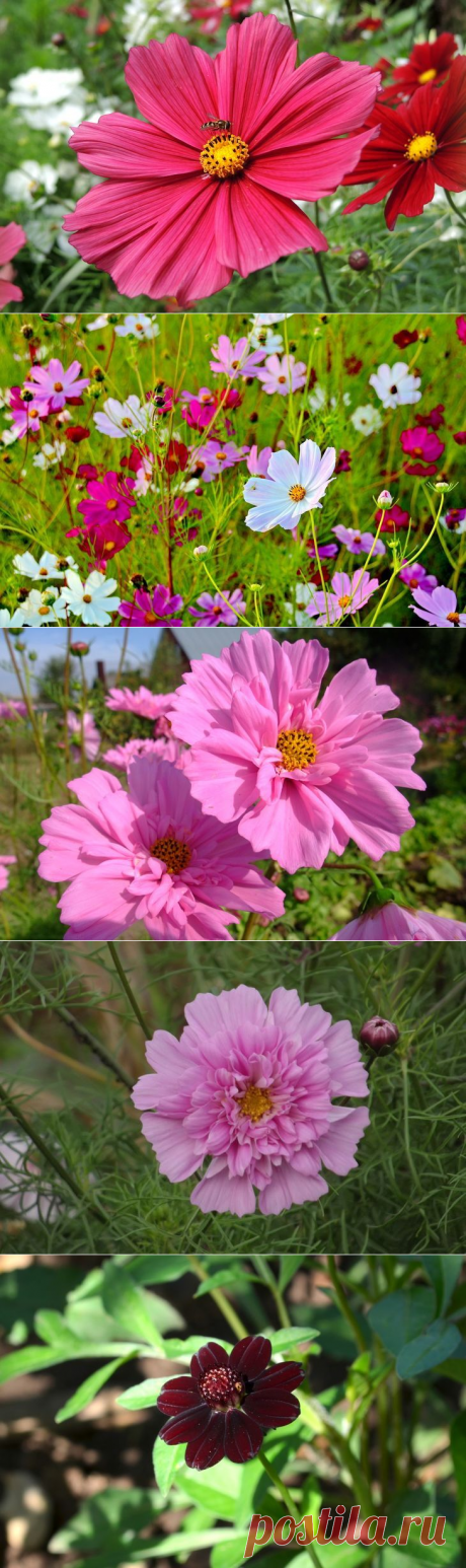 Цветок космея: как выглядит, фото, сорта, выращивание